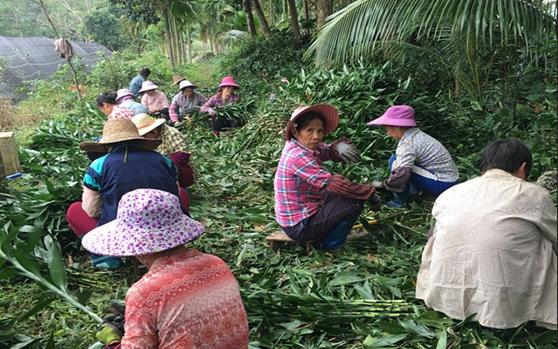 定安县岭口富民花卉专业合作社带动93户贫困户发展花卉产业